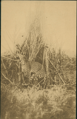Une Magnifique Capture: un Leopard (A Magnificent Catch – A Leopard)