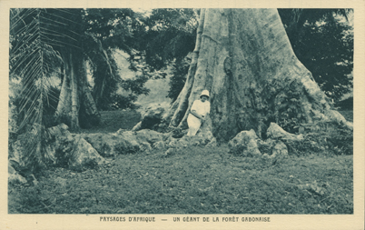 Un Geant de la Foret Gabonaise (A Giant of the Forest in Gabon)